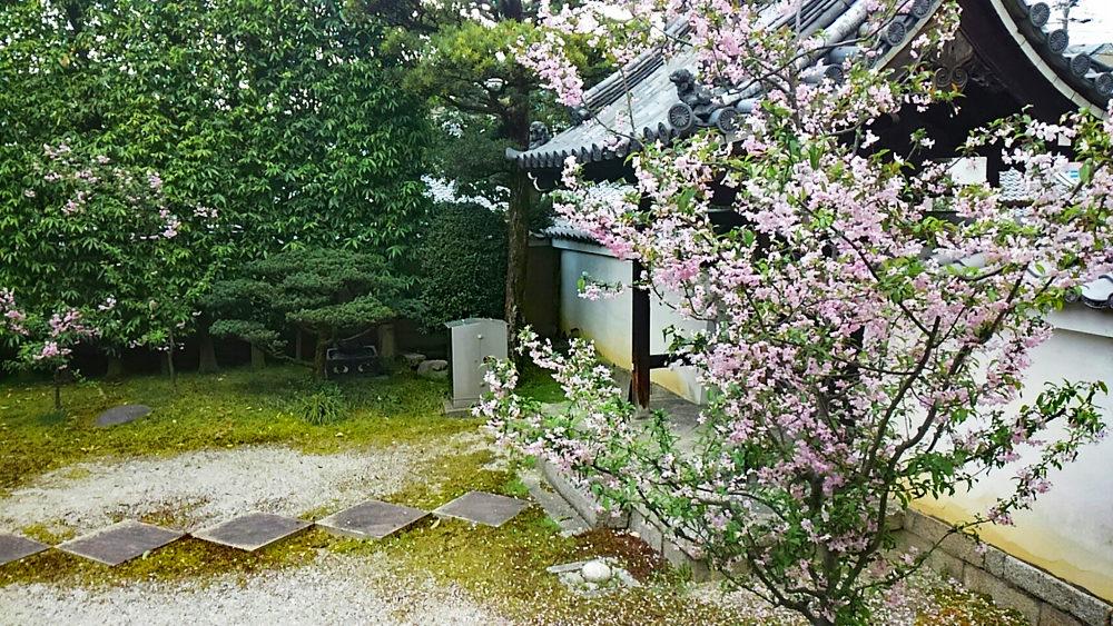 長講堂・後白河法皇御影殿の桜。