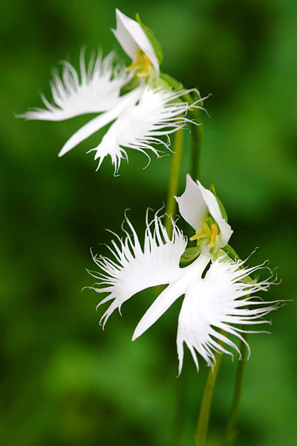世田谷区の花、サギソウ。白鷺が多摩川のほとりでサギソウになったというおとぎ話がある。
